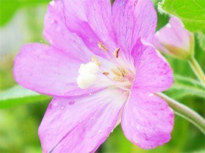 Epilobium parviflora